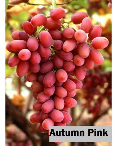 Jual Bibit Anggur Import Autumn Pink